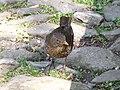 Turdus merula -Plymouth, Devon, England -female-8.jpg