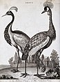 Two crested types of crane; the Balearic and Numidian. Etchi Wellcome V0022300.jpg