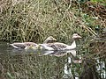 Two geese - two young goslings - geograph.org.uk - 777433.jpg
