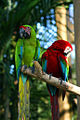Two macaws at Bali Bird Park-6.jpg