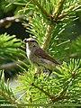 Tytler's Leaf Warbler (Phylloscopus tytleri) (36165053042).jpg