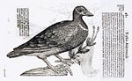 Ulisse Aldrovandi - Blue-Headed Quail-Dove - WGA00142.jpg