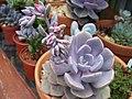Unidentified Succulents - Graptoveria Debbie. (6034784436).jpg