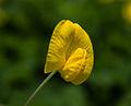 Unidentified flower, Rembangan, Jember 04.jpg