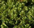 Unidentified moss - Flickr - S. Rae (1).jpg
