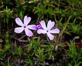 Unidentified plant in Dunedin Botanic Garden 05.jpg