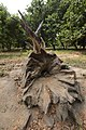 Uprooted Dead Tree - AJC Bose Indian Botanic Garden - Howrah 2018-04-01 2362.JPG