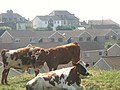 Urban Grazing - geograph.org.uk - 50486.jpg