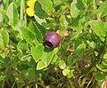 Vaccinium myrtillus (Blaeberry) - Flickr - S. Rae (1).jpg
