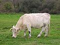 Vache race charolaise.jpg