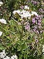 Valeriana montana004.jpg
