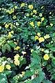 Valloires Abbey, botanical garden, Begonia × tuberhybrida.JPG