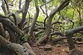 Van Riebeeck's Hedge, Kirstenbosch Botanical Garden, Cape Town-003.jpg