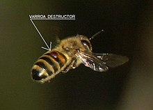 220px-Varroa_destructor_bee.jpg