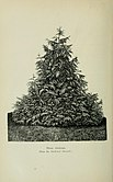 Veitch's manual of the coniferae - containing a general review of the order, a synopsis of the species cultivated in Great Britain, their botanical history, economic properties, place and use in (14747005826).jpg