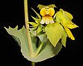 Velleia panduriformis - Flickr - Kevin Thiele.jpg