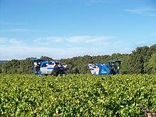 Photographie montrant une vigne récoltée par deux machines à vendanger; ce cas peut être utile dans les grandes parcelles ou quand un orage menace.