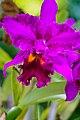 Very Purple Orchid (3002841576).jpg