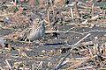 Vesper Sparrow (8680695038).jpg