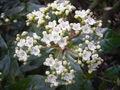 ViburnumTinus-'Gwenllian'-flower.jpg