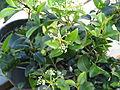 Viburnum atrocyaneum (13982009988).jpg