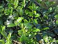 Viburnum atrocyaneum (14188745073).jpg