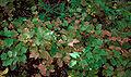 Viburnum edule foliage.jpg
