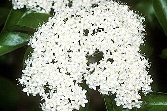 Viburnum prunifolium - Flowers