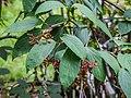 Viburnum setigerum in Hackfalls Arboretum (3).jpg