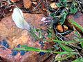 Vicia lutea FlorLateral 2009-4-12 CampodeCalatrava.jpg