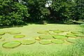 Victoria amazonica Leaves - Janardan Lake - Indian Botanic Garden - Howrah 2012-09-20 0104.JPG