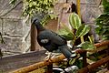 Victoria crowned pigeon in Chester Zoo 1.jpg
