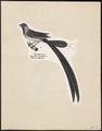 Vidua paradisea - 1809-1845 - Print - Iconographia Zoologica - Special Collections University of Amsterdam - UBA01 IZ15900101.tif