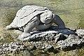 Villa Olmo - tartaruga nella fontana.jpg