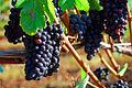 Vineyard Grapes (Yamhill County, Oregon scenic images) (yamDA0051a).jpg