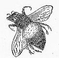 Vintage Bee Drawing.jpg