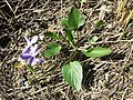 Viola ambigua sl93.jpg