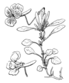 Viola corsica Coste 396.png