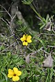 Viola pedunculata 004.jpg