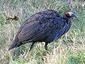 Vulturine Guineafowl (Acryllium vulturinum) RWD.jpg