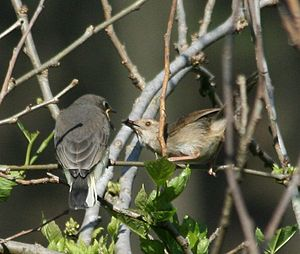 Honeyguide - Brown-backed honeybird juvenile fed by host parent, a rock-loving cisticola