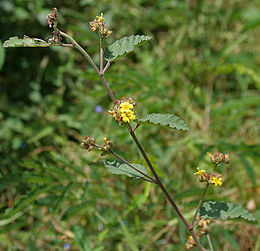 Waltheria indica in Hyderabad, AP W IMG 9485