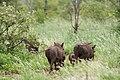 Warthogs (6858417469).jpg