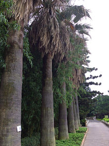 Washingtonia robusta 20140606.jpg