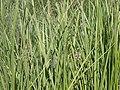 Water sedge, Carex aquatilis var. aquatilis (17220027241).jpg