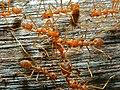Weaver Ants (Oecophylla smaragdina) (7109797639).jpg