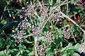 Weed (1745526547).jpg