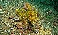 Weedy Scorpionfish (Rhinopias frondosa) (6059018831).jpg
