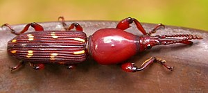 Brentidae - A brentid from the Western Ghats