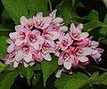 Weigela hortensis (flower).JPG
